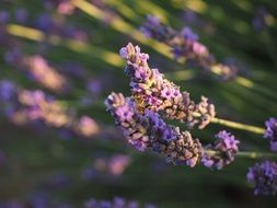 fragrant lavender blossoms