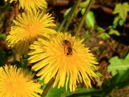 bee pollinating a yellow dandelion