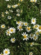white Flowers Summer Daisies meadow