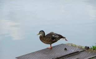 wild duck near the pond