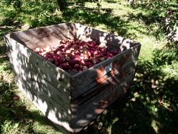harvested apples in the wooden box