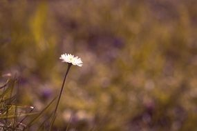 one daisy in the meadow on a blurred background