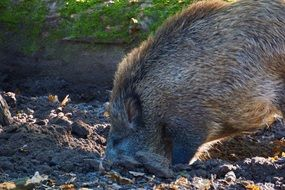 wild boar in a natural environment close-up