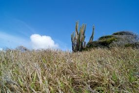 cacti among tall grass in the Caribbean