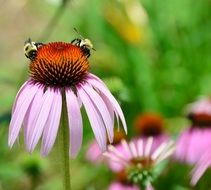 pink Cone Flower with bees macro