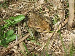 frog in the dry grass near the pond