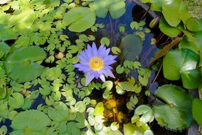 blue water lily on the pond