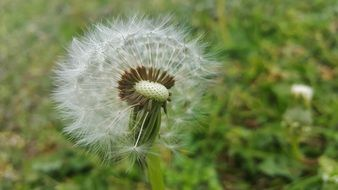 fragile fluffy dandelion
