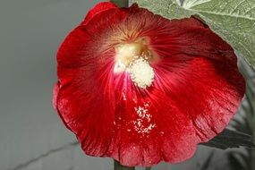 red alcea rose flower