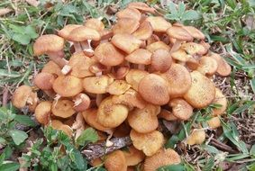 Honey Fungus mushrooms