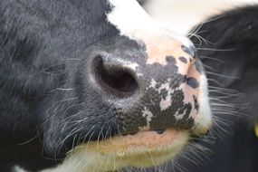 Cow Nose close up
