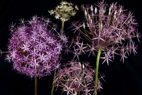 Ornamental onion flowers in the spring