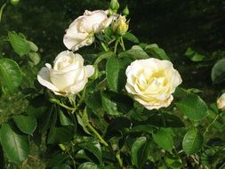 White garden rose blooms and buds