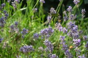 Lavender blossoms in the garden in summer
