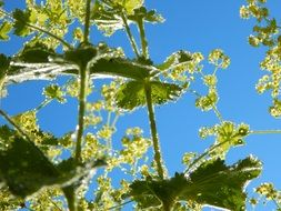 bottom view of blooming plant, Alchemilla, lady's mantle