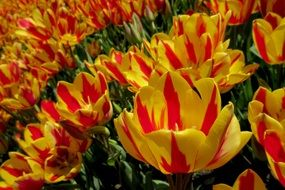 plantation of two-tone tulips