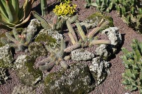 cacti as a decoration of the botanical garden on Lake Constance