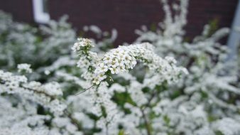 bush of tiny white flowers