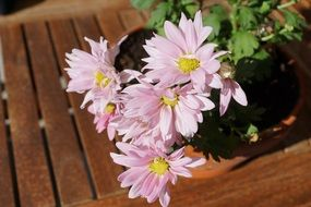pink chrysanthemums in a flower pot