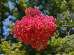 red crepe myrtle blossoms