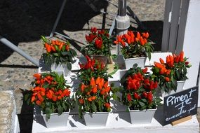 chili peppers in flower pots