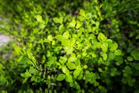 bush with green leaves