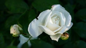 White Rose with buds at dark background