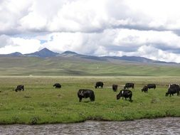 a herd of black cows on a pasture in Litang, China