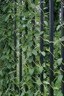 climbing plant on a metal black fence