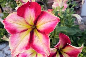 colorful petunia is an ornamental plant
