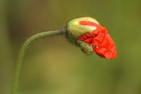 red poppy bud on a green background