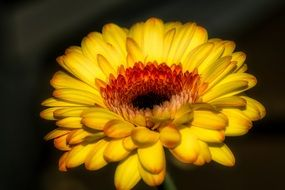 yellow gerbera as a daisy