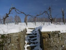 vineyard covered by snow