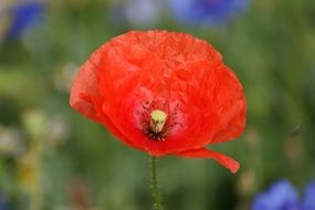 red poppy blossom in the summer meadow