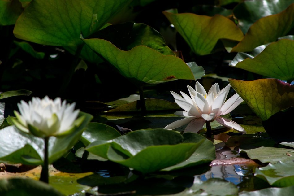 thickets of light water lilies on a pond