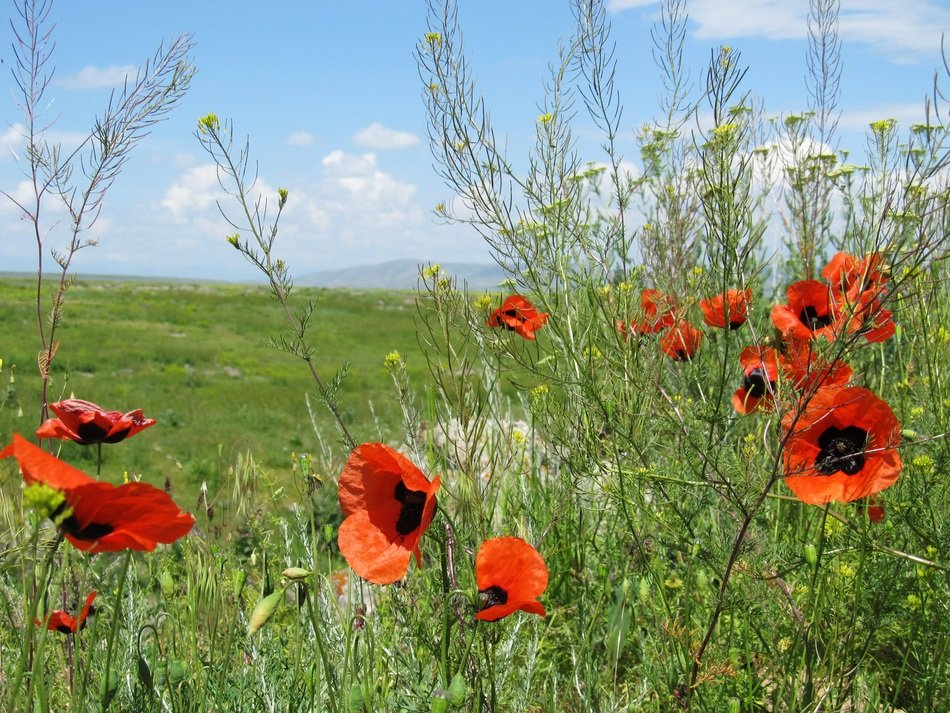 red poppies among weeds