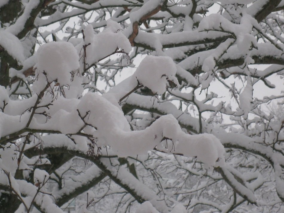 Winter Tree, Snowy branches