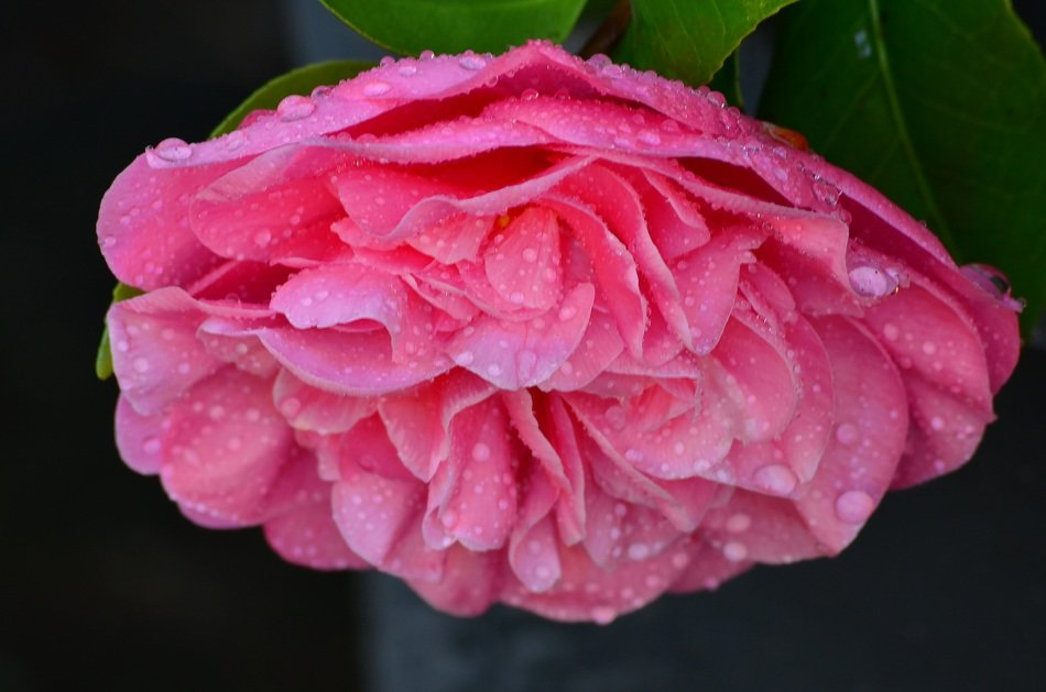 raindrops on a garden pink peony