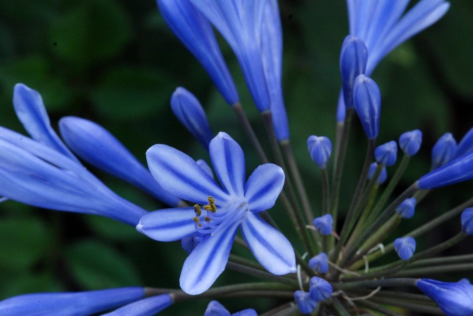 Beautiful colorful agapanthus flowers