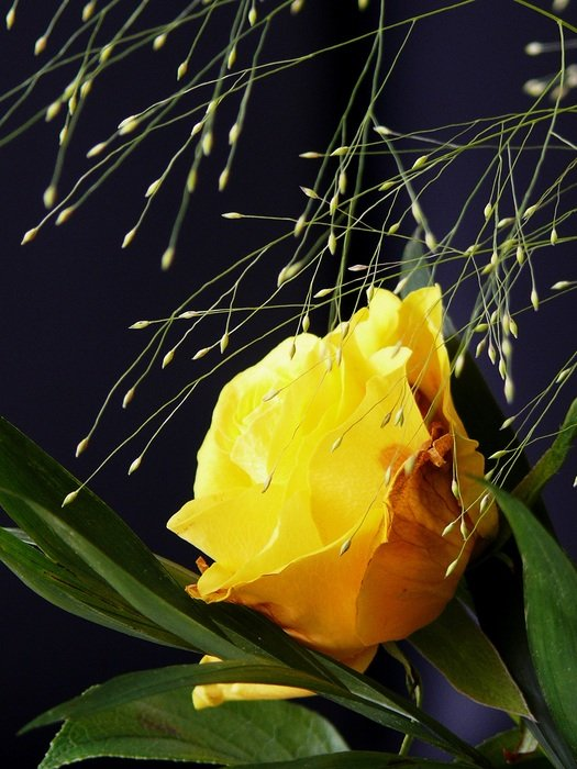 yellow rose with blade of grass