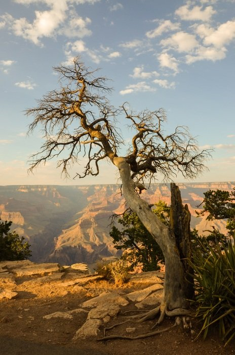 trees in the grand canyon