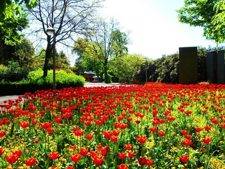 large flower bed with red tulips in the park