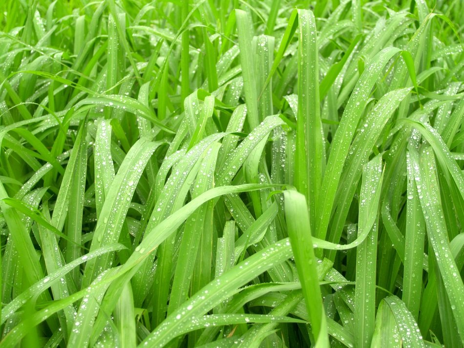Water Drops on green grass leaves