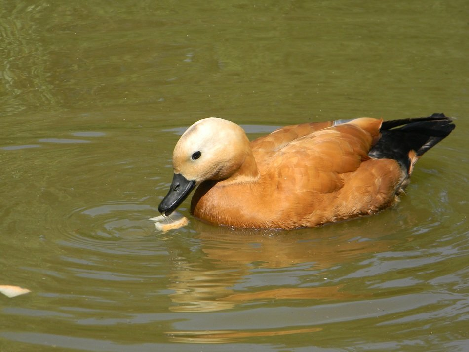 Brown feathered Duck