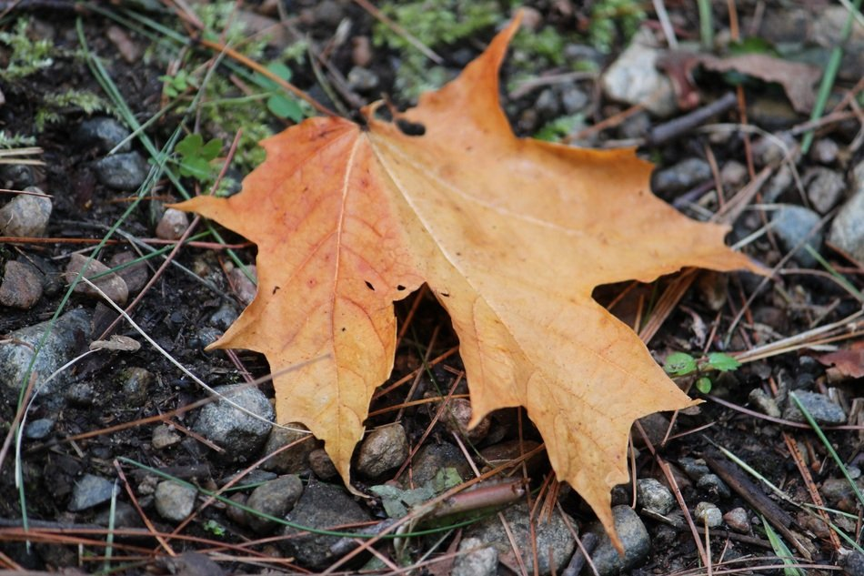 dry Maple Leaf on a ground