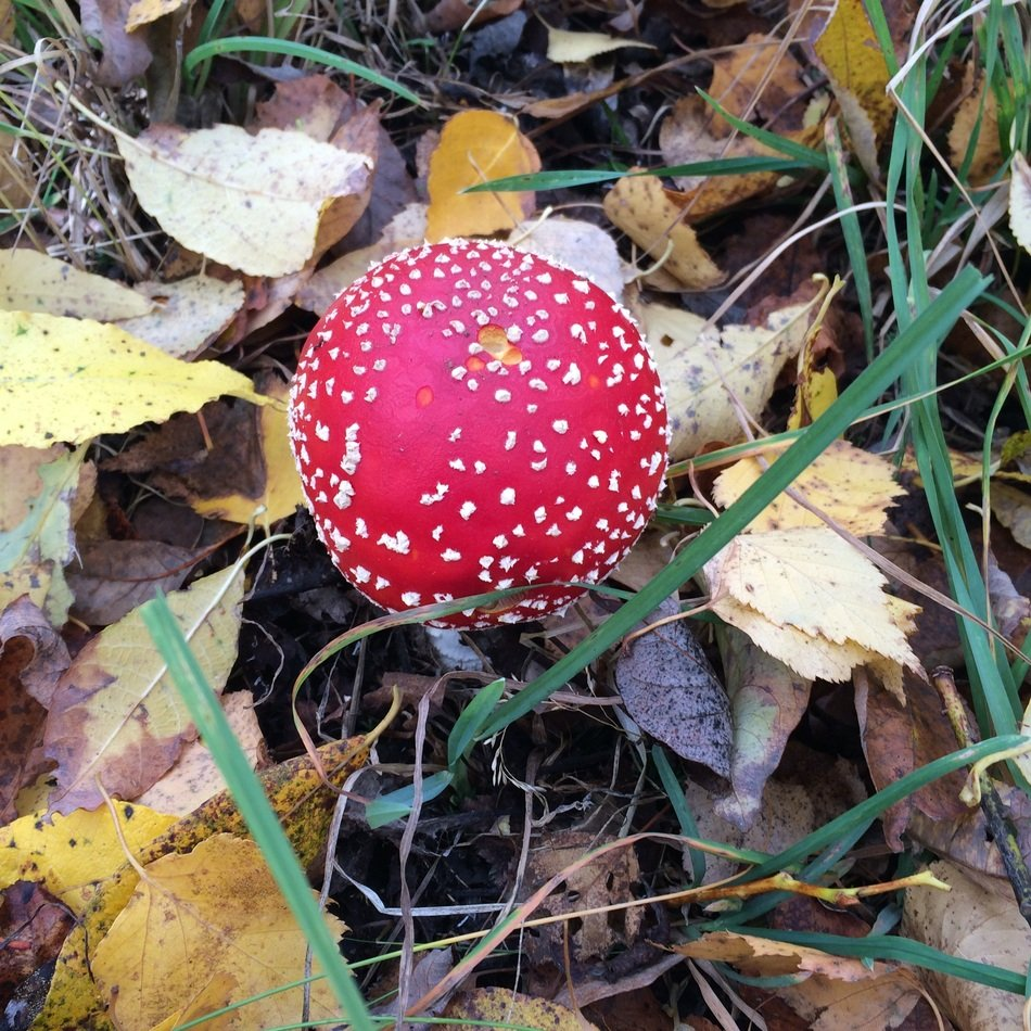 charming Amanita Mushrooms