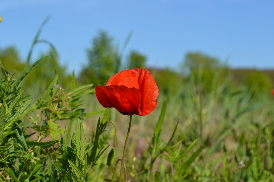 red poppy among green grass