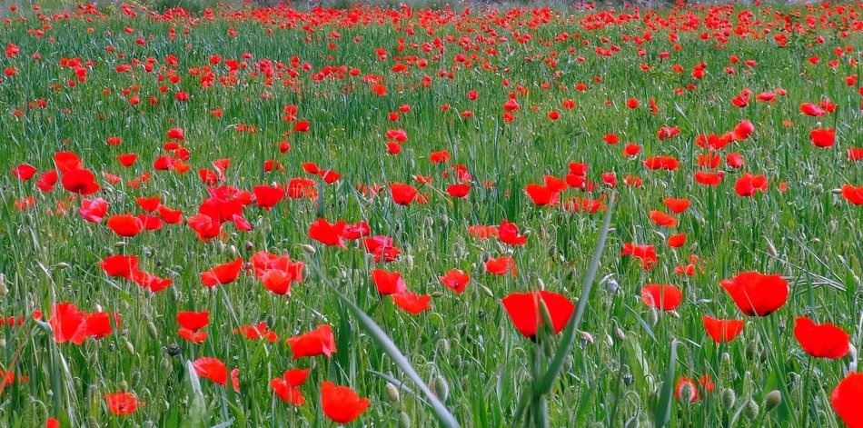 green field with red poppies