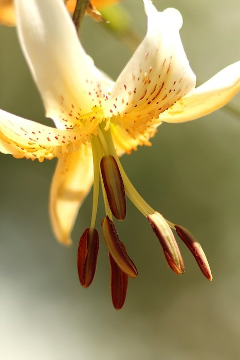 yellow lily on a light background