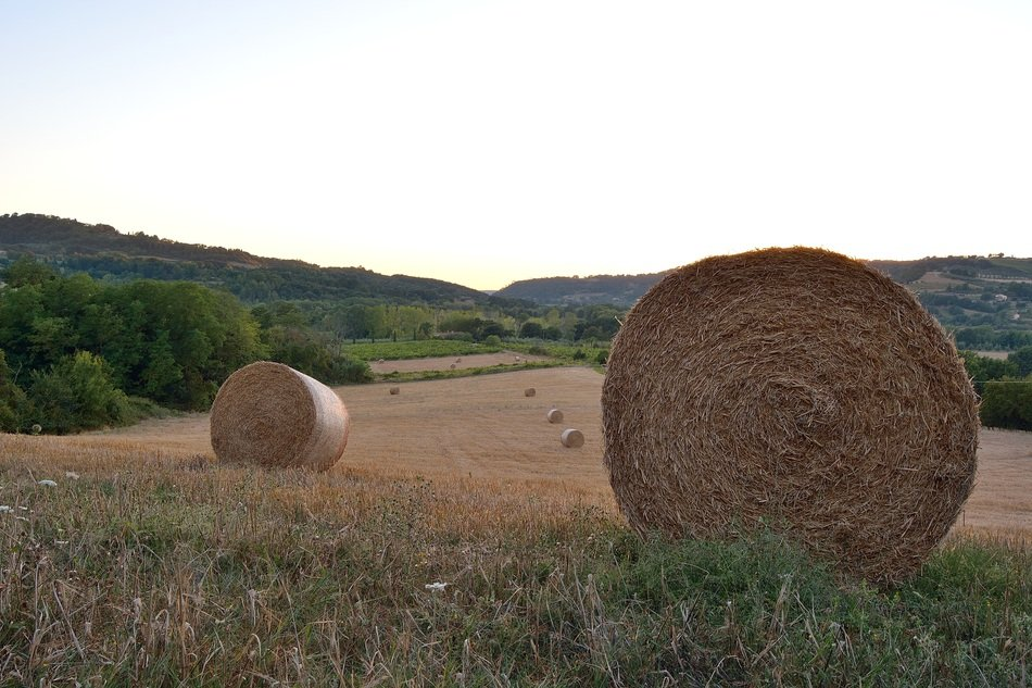 round bales of straw on the field